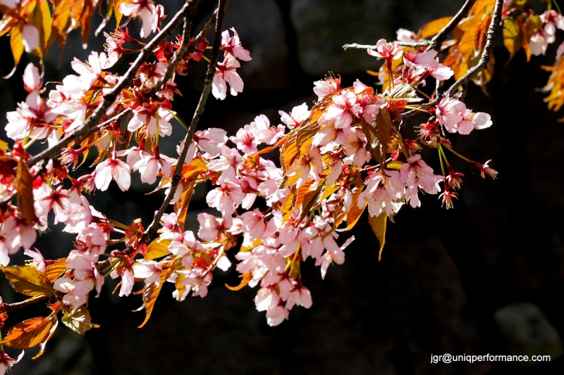 Cherry blossom | paleokeittio.fi